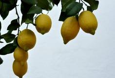 Lemons on branch Royalty Free Stock Photography