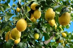Lemons on branch Royalty Free Stock Photo