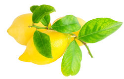 Lemons on a branch with leaves. Royalty Free Stock Images