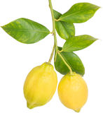 Lemons on a branch Royalty Free Stock Photo