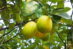 Lemons on a branch Stock Images