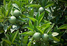 Lemons on a branches stock photos