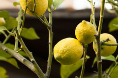 Lemons on the branches Stock Photos
