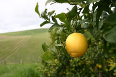 Lemons for ever. One lemon hanging on tree in orchard stock images