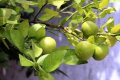 Lemons exposed at the lemon tree, ready to be harvested royalty free stock image