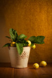 Lemons. Fresh lemons picked from the orchard in a vintage bucket Royalty Free Stock Images