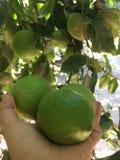 Lemons in the tree royalty free stock photos