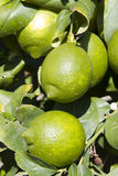 Lemons. Green Lemons on a tree Stock Photo