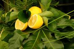 Lemons and Greenery. Two sliced lemon halves and one whole lemon set amidst various green leaves and fresh rosemary stock photos