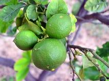 Lemons Growing in Garden. Three unripe green lemons in a bunch growing in a home garden Royalty Free Stock Photography