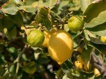 Lemons growing on lemon tree and blue sky. Royalty Free Stock Images