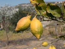Lemons growing on lemon tree and blue sky. Stock Images