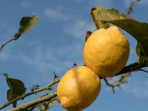 Lemons growing on lemon tree and blue sky Royalty Free Stock Photos