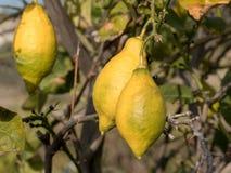 Lemons growing on lemon tree and blue sky Stock Photos