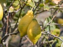 Lemons growing on lemon tree and blue sky Royalty Free Stock Photography