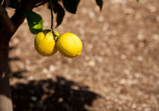 Lemons growing in Limone Stock Photos