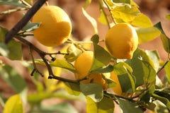 Lemons growing on a tree. A selection of lemons still growing on a lemon tree Stock Photo