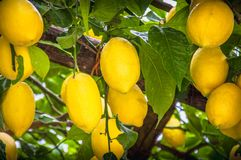 The famous lemons of Sorrento. Lemons growing on the tree at Sorrento Peninsula, Italy stock images