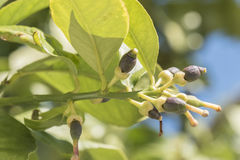 Lemons growing on the tree in spring.  Royalty Free Stock Photos