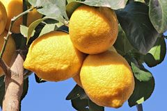Lemons in growth stock image
