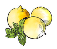 Lemons. Hand drawn three lemons with leaves Royalty Free Stock Image