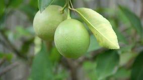 Lemons stock footage