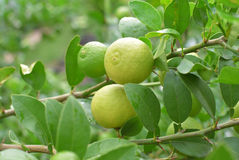 Lemons hanging on a lemon tree Royalty Free Stock Image