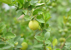 Lemons hanging on a lemon tree Royalty Free Stock Photography