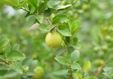 Lemons hanging on a lemon tree Royalty Free Stock Photography