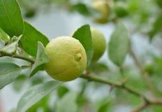 Lemons hanging on a lemon tree Stock Photo