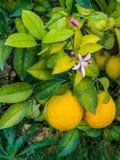 Lemons hanging on a lemon tree Royalty Free Stock Images