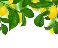 Lemons hanging on a lemon tree. On white background Royalty Free Stock Photography