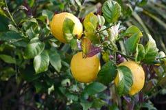 Lemons. Hanging on a tree stock image