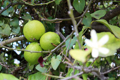 Lemons hanging on tree Stock Photos