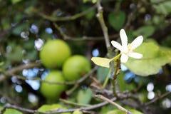 Lemons hanging on tree Stock Photography