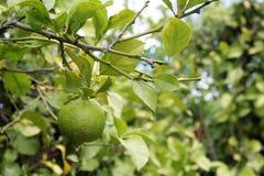 Lemons hanging on tree Royalty Free Stock Photography