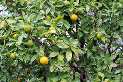 Lemons hanging on tree Royalty Free Stock Images