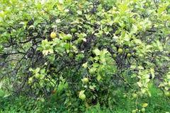 Lemons hanging on tree Royalty Free Stock Photos