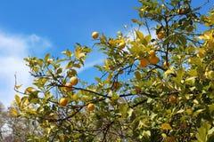 Lemons hanging on tree Royalty Free Stock Image
