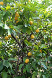 Lemons hanging on tree Stock Images