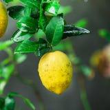 Lemons hanging on tree Stock Image