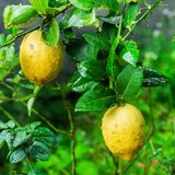 Lemons hanging on tree Stock Photos