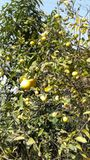 Lemons. In India Royalty Free Stock Images