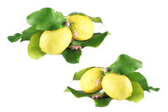 Lemons with leaves Stock Photography