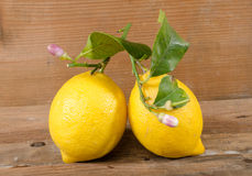 Lemons with leaves and flowers Royalty Free Stock Photo