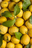 Lemons with leaves. Harvested organic lemons with leaves and stems, middle view Stock Image
