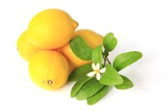 Lemons. Lemon (Citrus x limon) - ripe fruits isolated against white background with a litle twig with a blossom Royalty Free Stock Photos