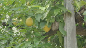 Lemons in Lemon Orchard stock video