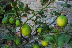Lemons from the plant. Lemons and the the lemon plant Royalty Free Stock Image