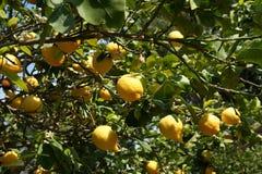 Lemons on a lemon tree Royalty Free Stock Images